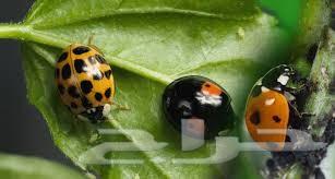 شركة مكافحة حشرات بالدمام 0502252040 الريماس