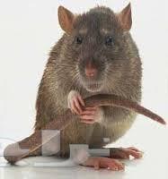 شركة مكافحة الفئران بجدة 0503959302 روضة جدة