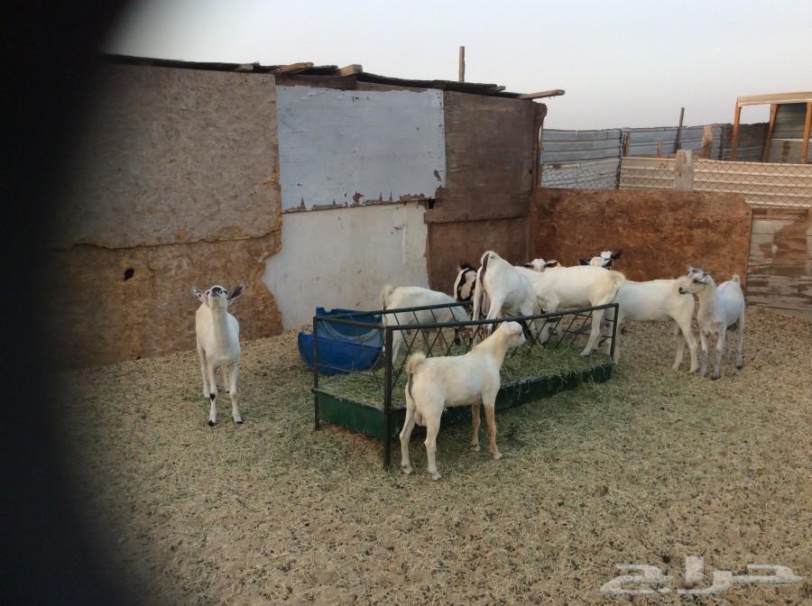 تيوس بيشية للبيع 57aa6d4d8a40a.JPG