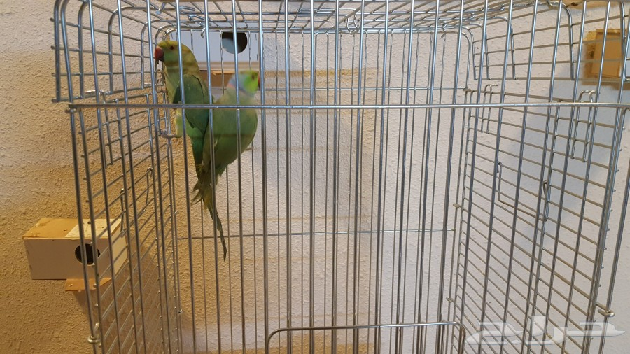 ببغاء طيور درة هندي